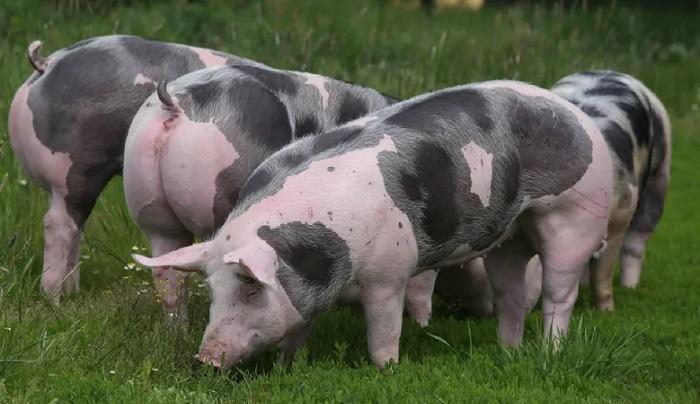 три пятнистые свиньи