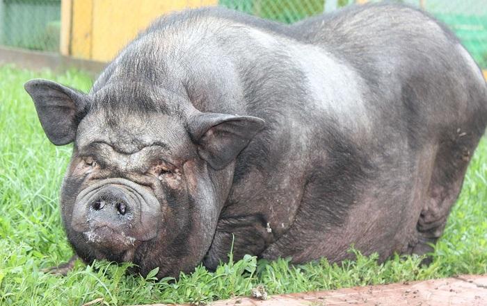 очень жирная свинья