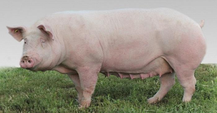 мясной свин на траве