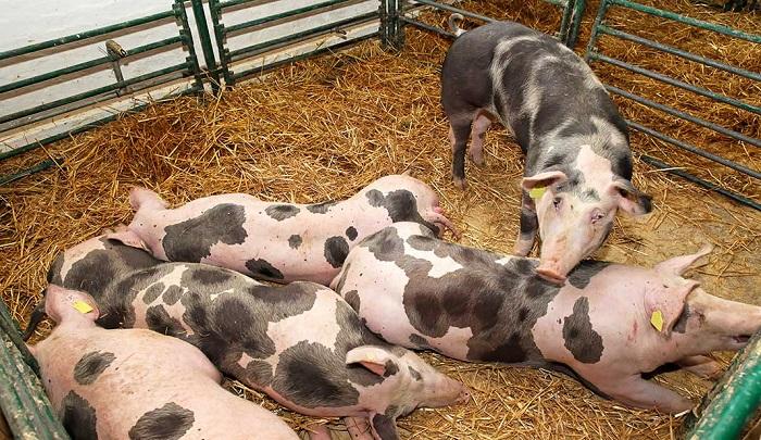 пятнистые свиньи в загоне