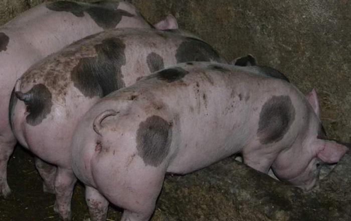пятнистые свиньи едят