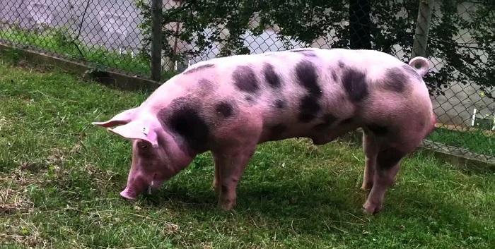 пятнистый свин