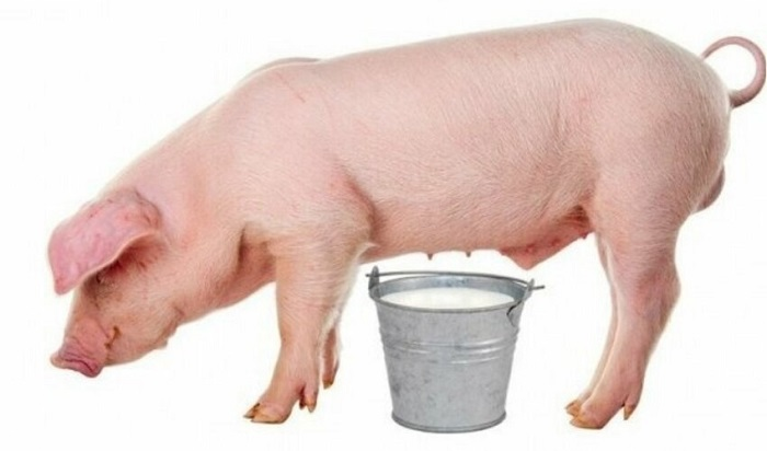 ведро свиного молока