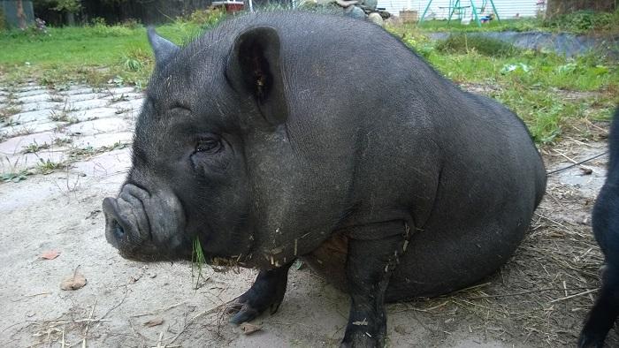 свинья сидит