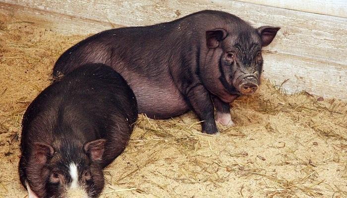 две свиньи на сене