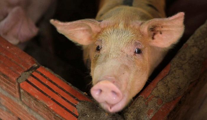 свинья смотрит в кадр