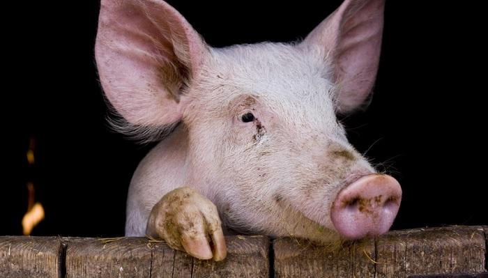 свинья и доска