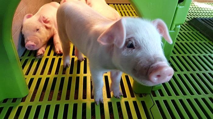 свинья и зеленая решетка