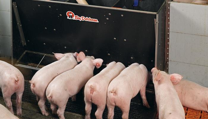 кормушка у свиней