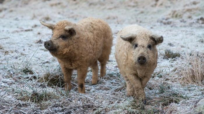 кудрявые свинья