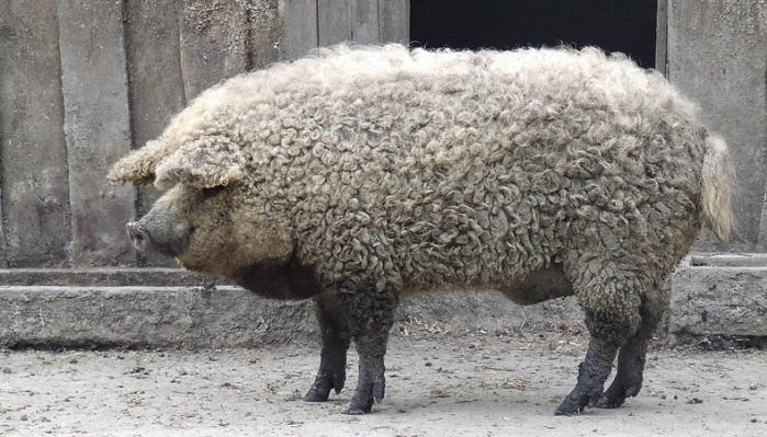 кудрявая свинья на фоне сарая