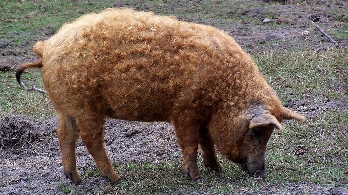 кудрявая свинья ест траву