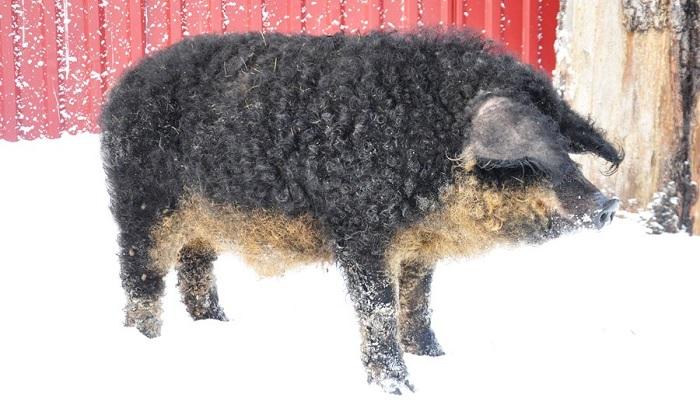 кудрявая темная свинья на снегу