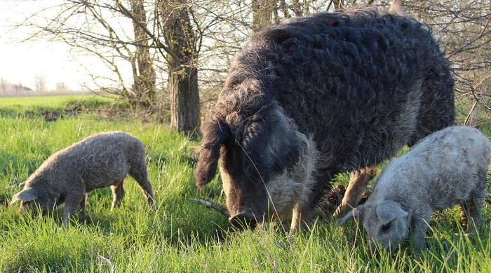 зеленая трава и кудрявые свинья