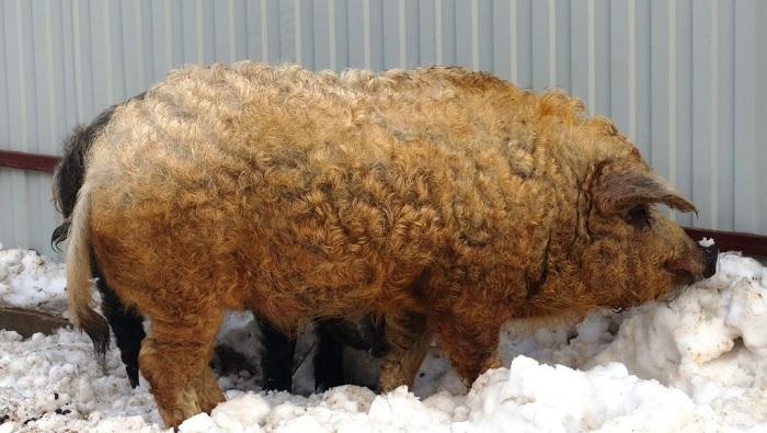 свинья на снегу