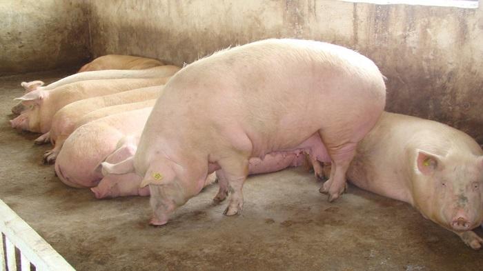 четыре здоровых свиньи