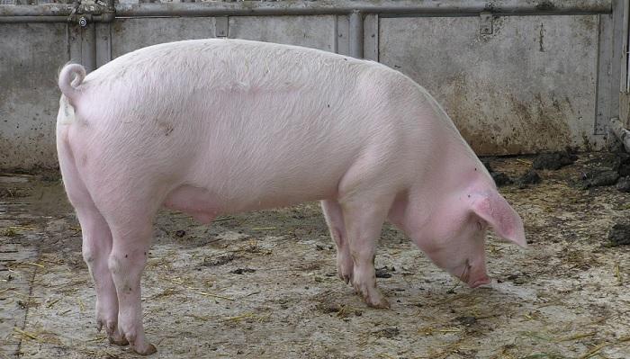 свинья стоит на полу