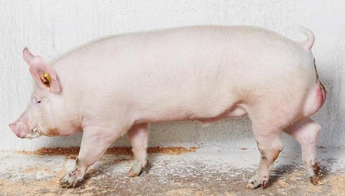 свинья на белом фоне