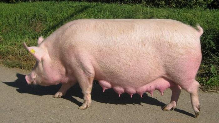 свинья на фоне травы
