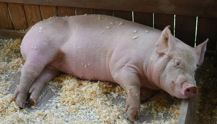 свинья лежит на боку