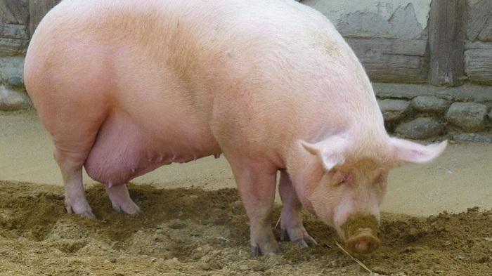 крупная свиноматка