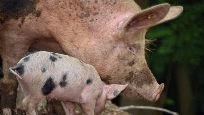 вши у свиней