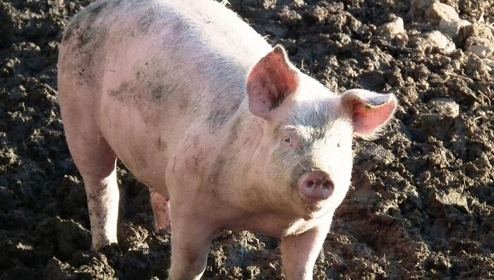 свинья в грязи стоит