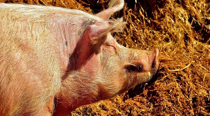 свинья на фоне сеновала