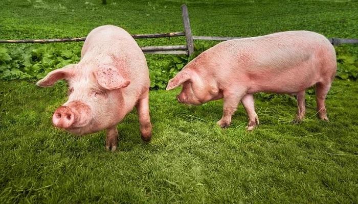 свинья на зеленом фоне