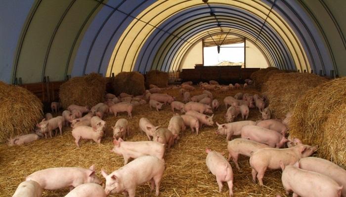 свинарник и свинья