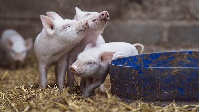 свиньи и синяя чашка