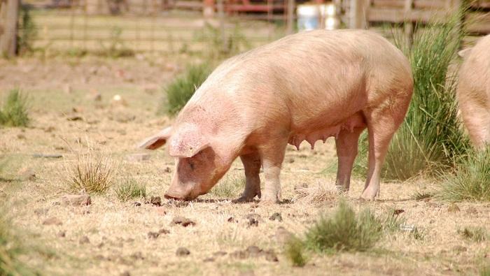 свинья на песке
