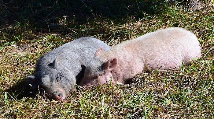 две свиньи на траве