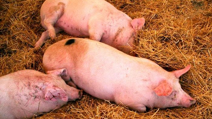 три мертвые свиньи