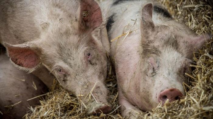 чума у свиней