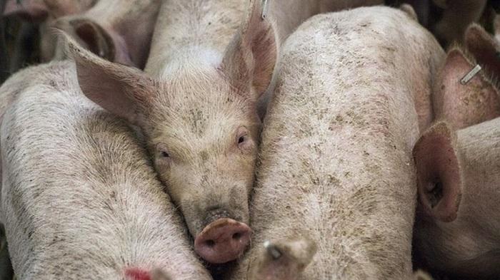 грязные свинья