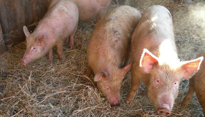 четыре больные свиньи