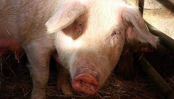 крупная свинья