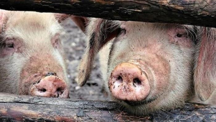 две свиньи в проеме