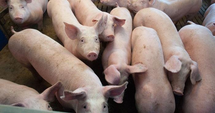 куча свиней