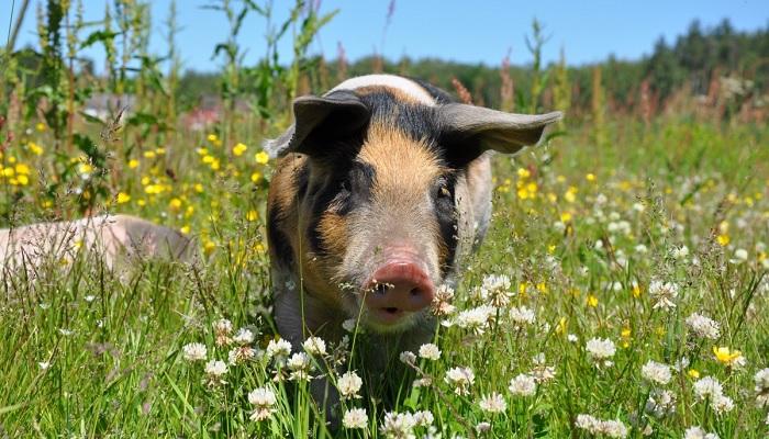 свинья и цветочки