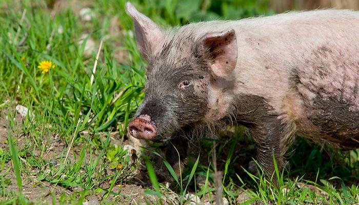 грязная свинья на траве