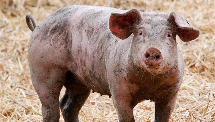 свинья крупным планом