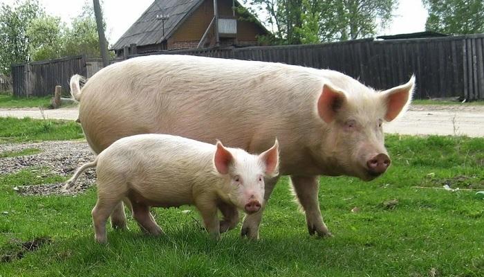 свинья в деревне