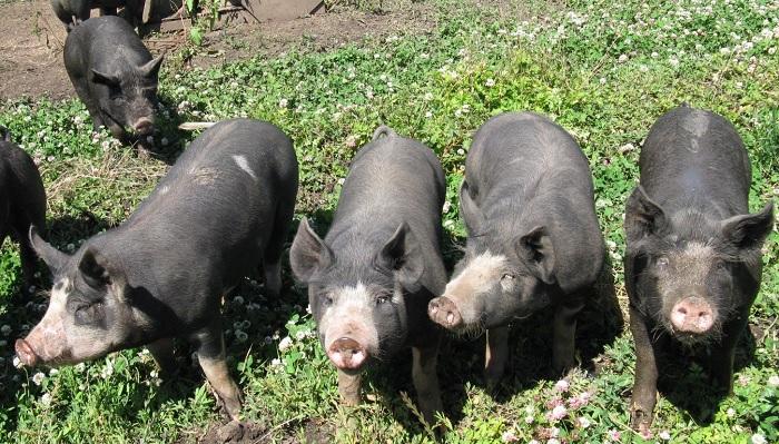 четыре свиньи