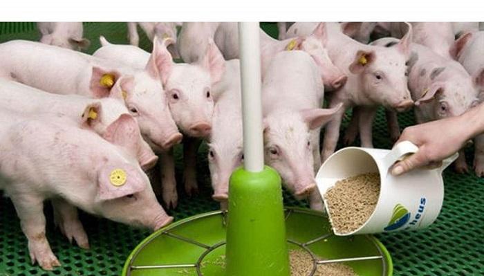свинья кормление