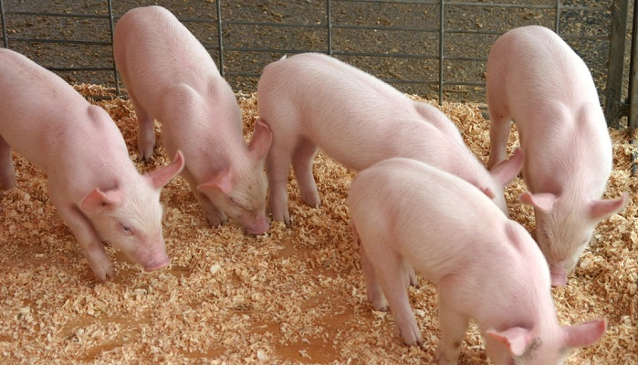 пять свиней