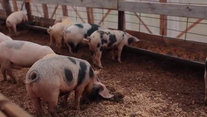 свинья на ферме с подстилкой