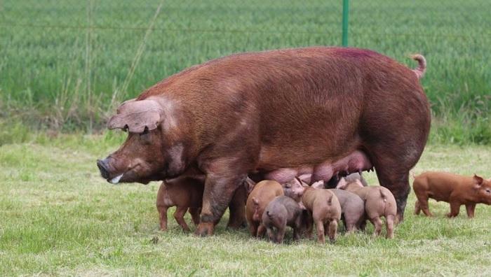 много свинок