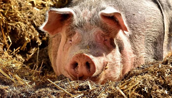 свинья на грязном